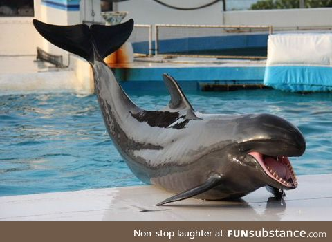 A wolphin, a hybrid born from a mating of a female common bottlenose dolphin with a male