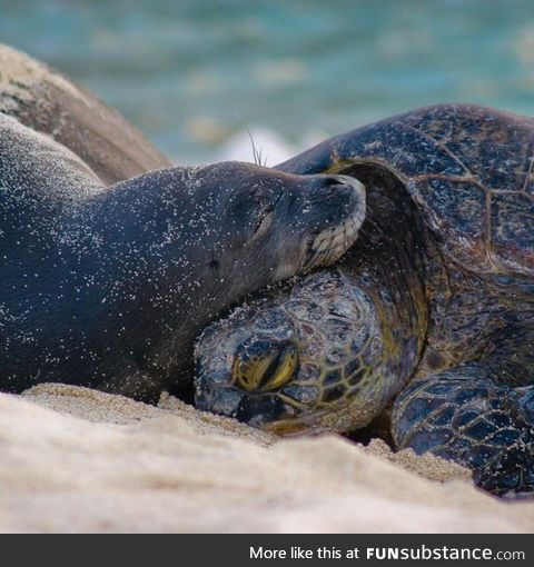 Seal cuddling with a turtle