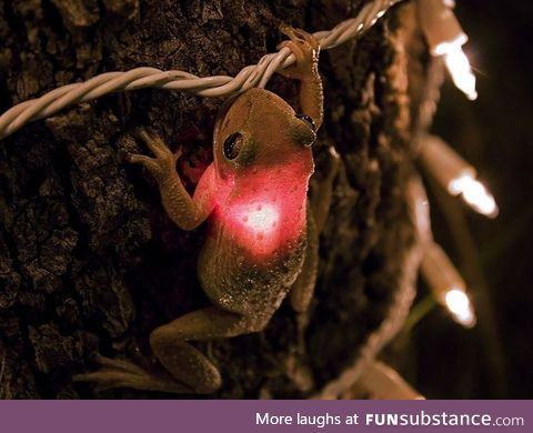 This is a Cuban tree frog on a tree in southern Florida, phtographed by James Snyder.