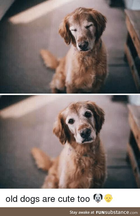 Old dogs with the grey face are the cutest