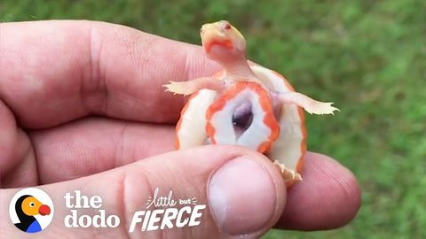 Hope: The tiny turtle with an exposed heart