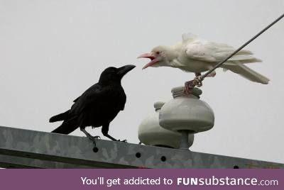 Disagreeable Milky Crow