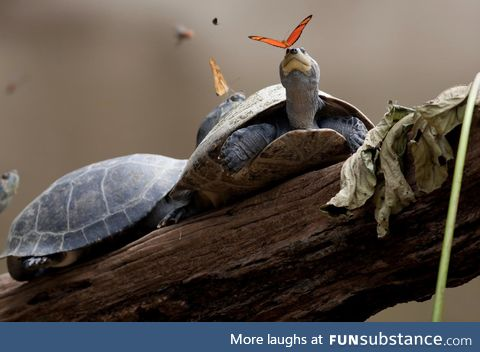 Julia butterflies feed on the tears of turtles
