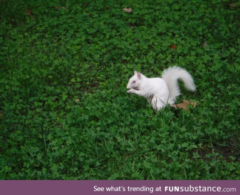 An albino squirrel!!!