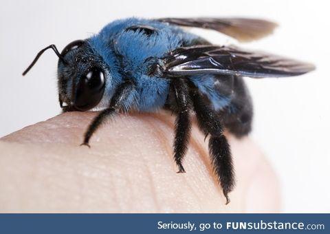Xylocopa Caerulea, the naturally blue carpenter bee