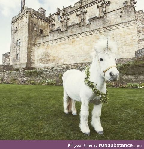 Just the national symbol of Scotland chilling outside a Scottish castle, nothing to see