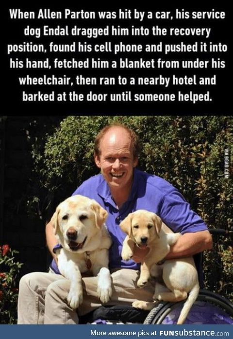 Endal saves his owner after he was hit by a car