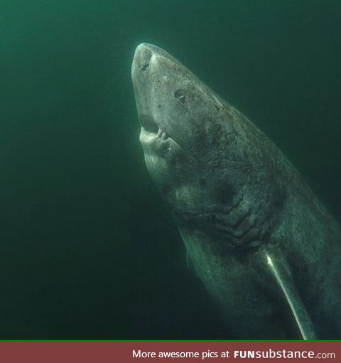 This Greenland shark is over 300 years old