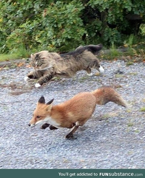 Fox chased by a cat
