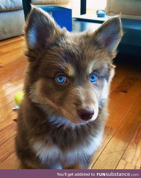 Pomsky. Winter is coming