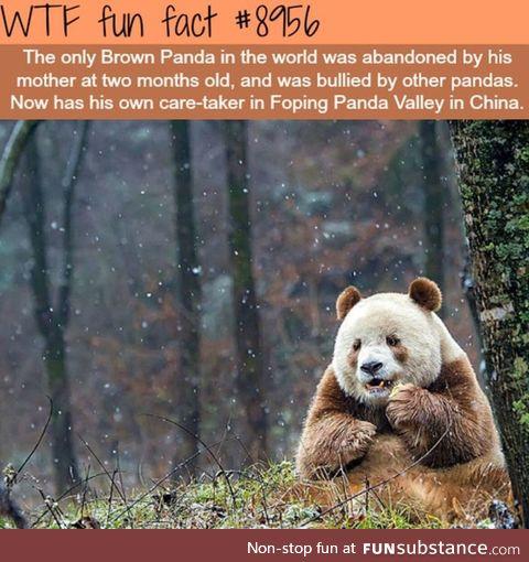 The lonly brown panda