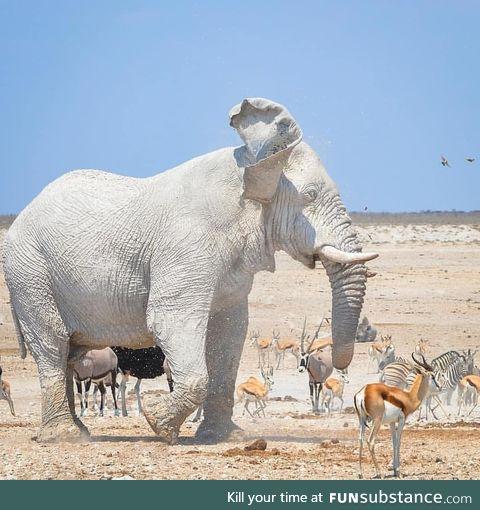 Rare white elephant