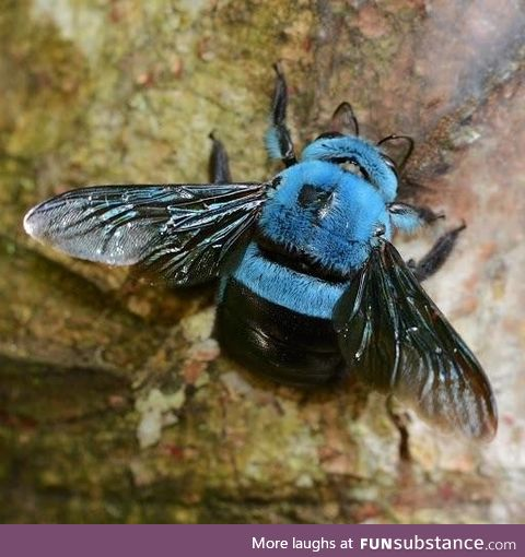 Not all bees are yellow. This is a blue carpenter bee