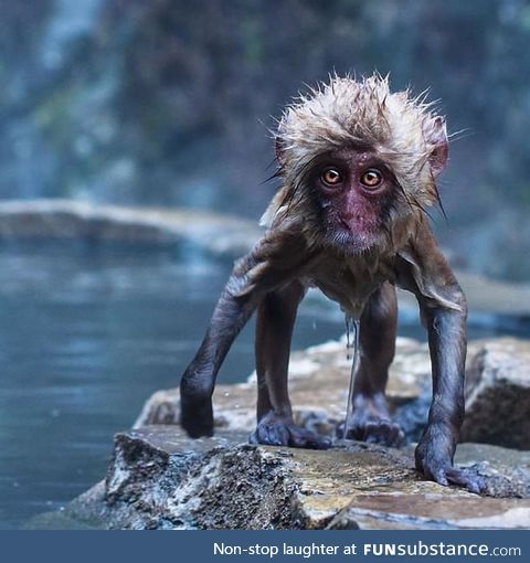 A Japanese snow monkey fresh out of the natural hot spring