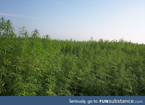 There is a Cannabis forest that's growing hopelessly out of control in Hokkaido, Japan