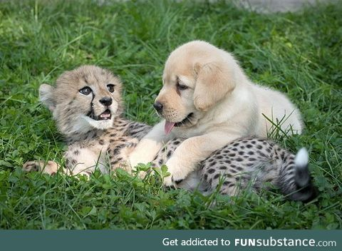 Cheetahs receive emotional support dogs and it is the cutest thing you will see all day
