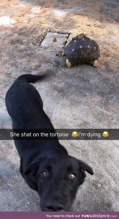 Doggo establishing dominance over poor tortoise