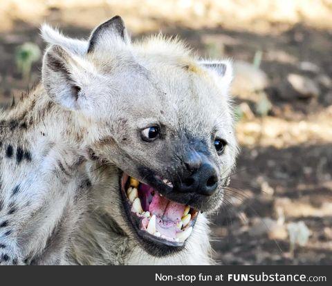 Photographer Lisl Moolman captures an optical illusion of two hyena havin' a good giggle
