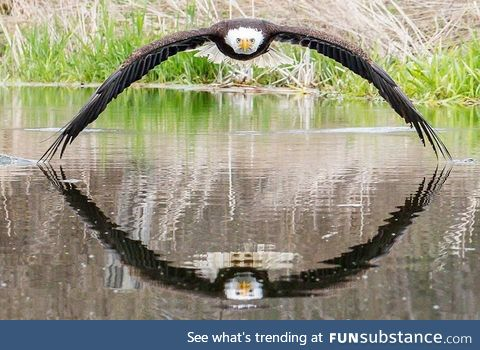 Handsome Bald Eagle at the Canadian Raptor Conservancy flying perfectly close to the water
