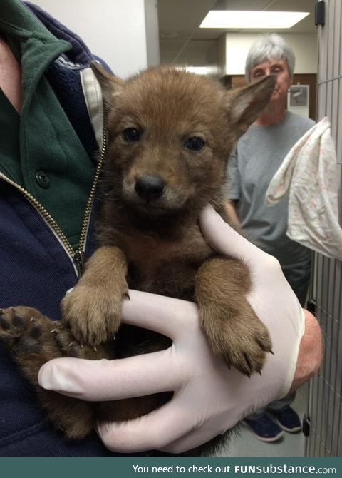 Are baby coyotes welcome here?