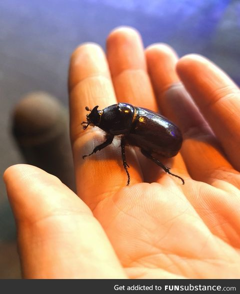 Guys I found a rhinoceros beetle! :)