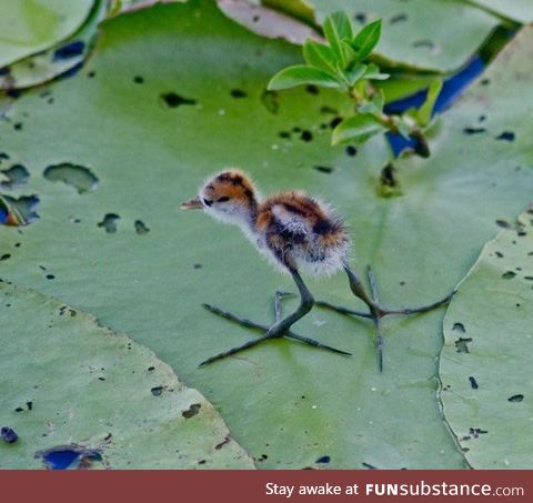 Jacana puppies have to grow in to their feet