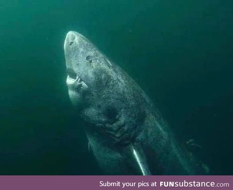 This shark is 392 years old and still alive today. This means that he is older than USA