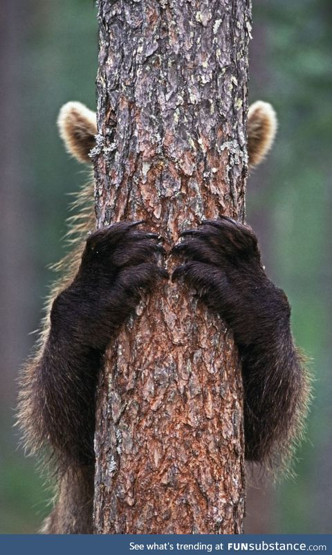 Brown Bear hiding behind a tree (Photo: Jari Peltomäki)