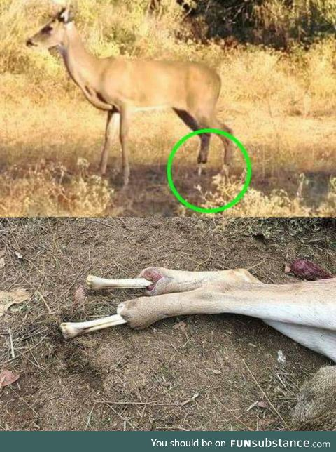 Deer lost it's back hooves and was walking around on bone