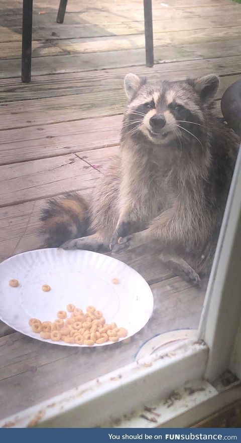 The cereal pleases the raccoon