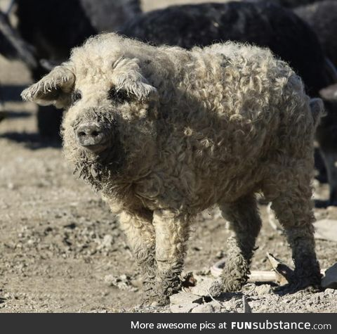 The mangalitsa pig, is a rare woolly breed from Hungary. It looks like a sheep and acts