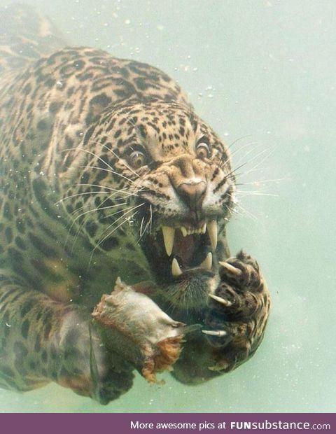 Jaguar in the water for food