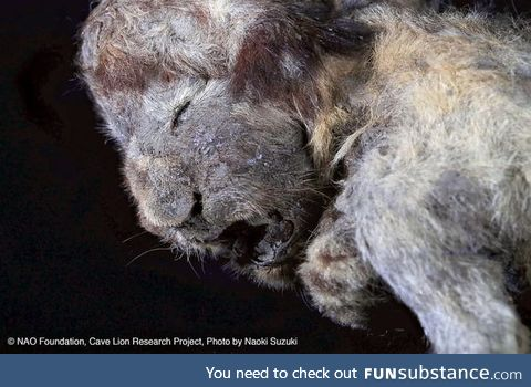 30,000 year-old cave lion cub preserved in Siberian permafrost