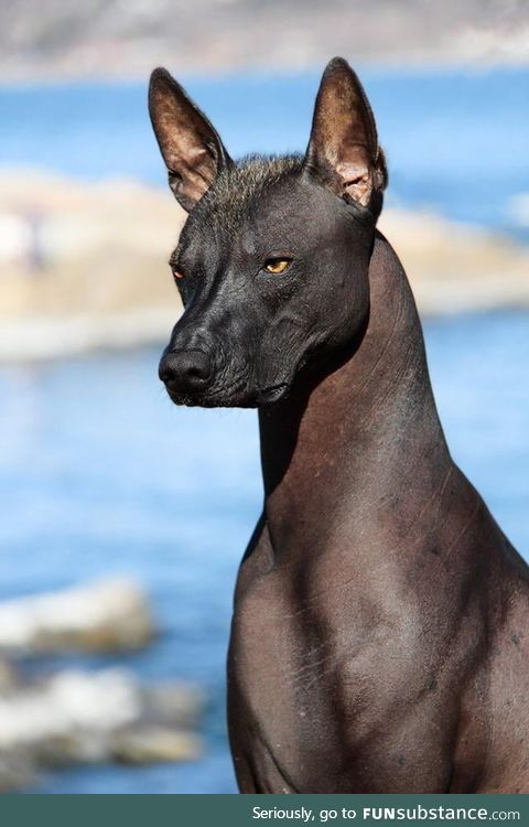 The Xoloitzcuintli Quetzal (Mexican hairless dog) is considered a guide for the dead