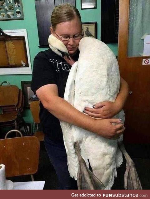 A lucky swan embraces the vet who saved his life