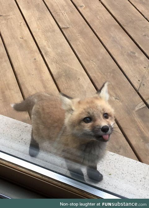 A baby fox shows up to say hi