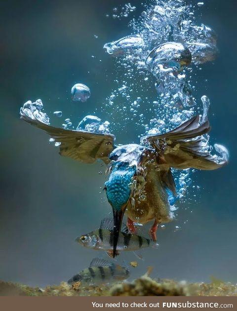 Kingfisher Fishing !