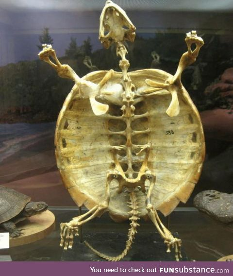 This is why turtle cannot come out from its shell