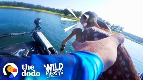Baby Deer Rescued from the middle of a lake (FeelGoodSubstance)