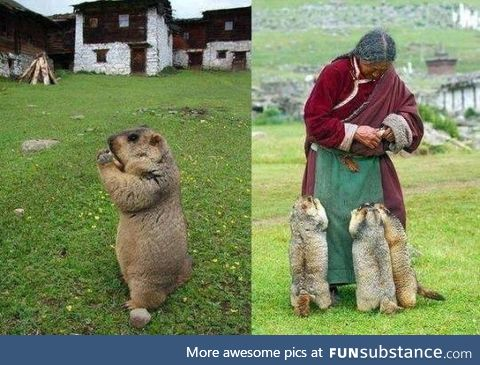 Himalayan marmots come for their regular feed by a caring lady.