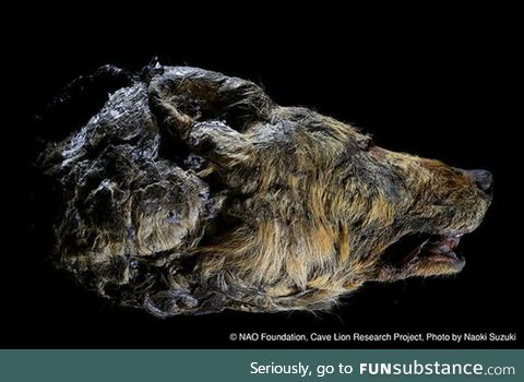 Recently discovered 40,000 year old Pleistocene Wolf head. Just the head alone is half