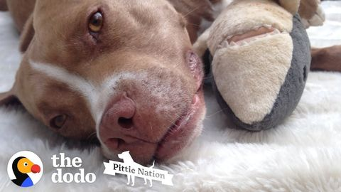 Pit Bull won't go anywhere without her stuffed shark, Bruce (FeelGoodSubstance)