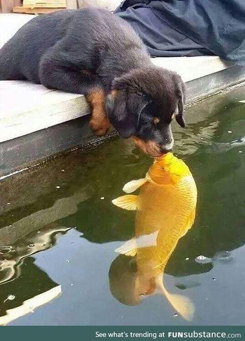 Kiss of the Goldfish!