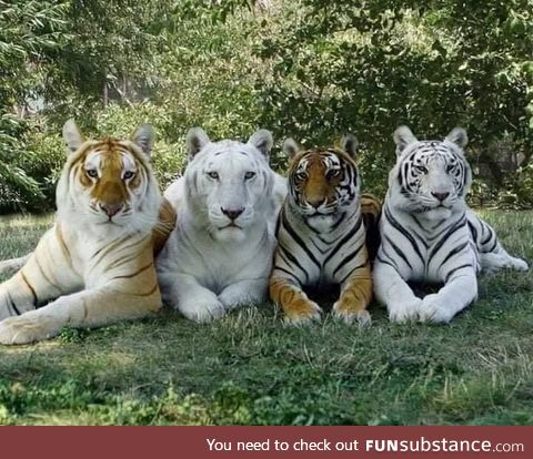 The only photo with the 4 shades of a tiger.
