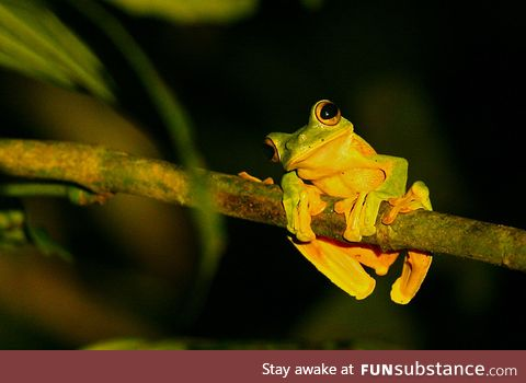 Froggo Fren #3 - Wallace's Flying Frog