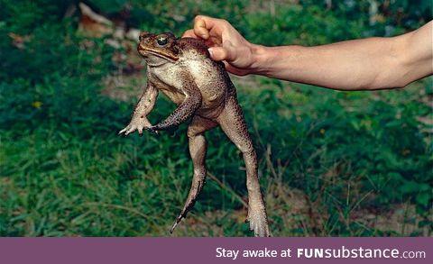 Froggo Fren #4 - Cane Toad