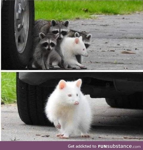 Rare albino raccoon hangin' out and doin' hood rat stuff