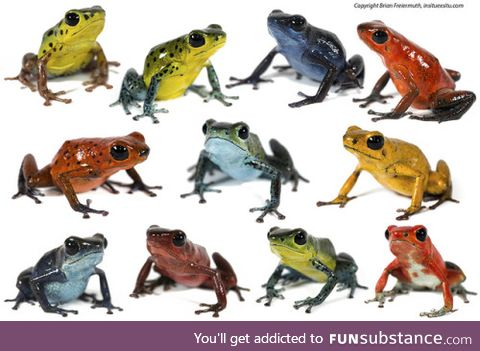 Froggo Fren #5 - Strawberry Poison-Dart Frog