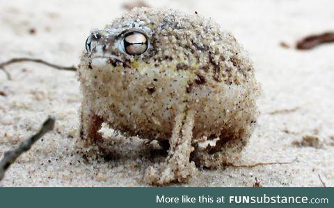 Froggo Fren #6 - Desert Rain Frog