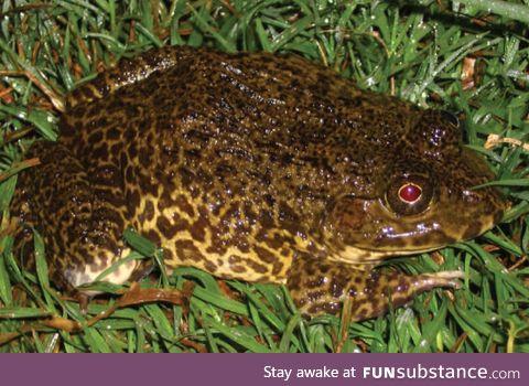 Froggo Fren #7 - East Asian Bullfrog